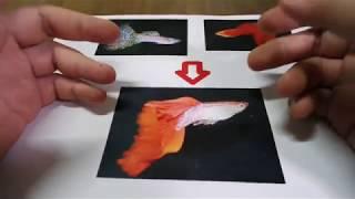 輕鬆養孔雀魚 完整版 (系統缸)介紹(品種改)造篇