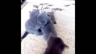 Это мои котята они играют и дерутся.
