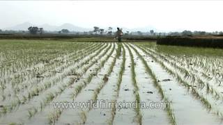 Urea - A solid nitrogenous fertilizer being spread in West Bengal paddy fields!