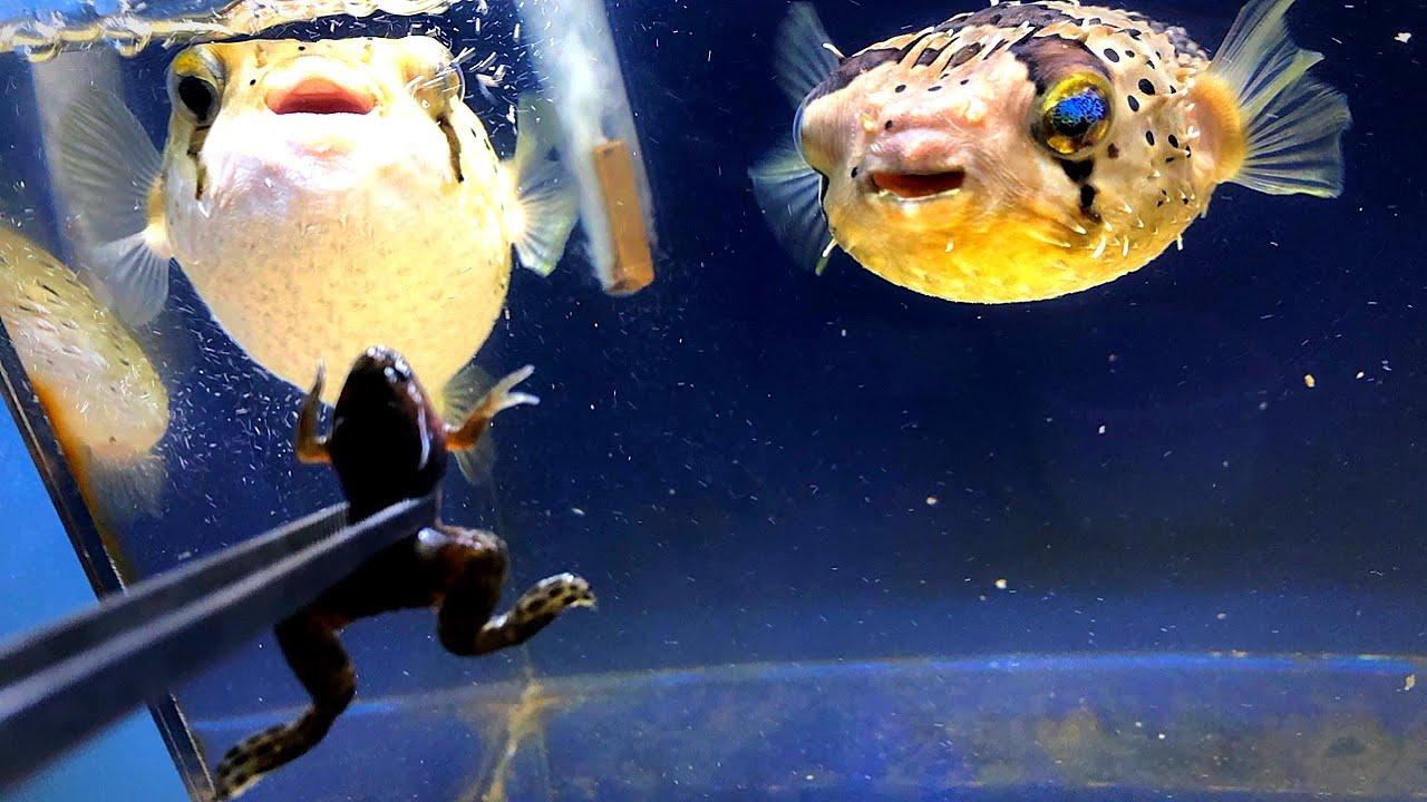 ハリセンボンはカエルを食べるのか検証した結果…