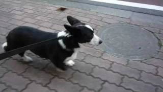(hd) Cardigan Welsh Corgi 20090319
