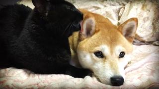 睡魔と戦いながら一生懸命毛づくろいしてくれる猫 cat grooming dog thumbnail