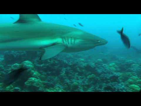 Great Shark Video from the Galapagos Islands