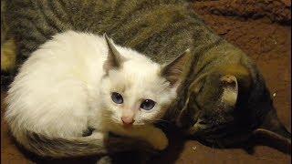 人間や先住猫にピトッとくっつく新入り子猫マメ thumbnail