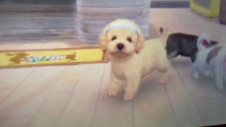 Nintendogs and cats toy poodle version part 6?