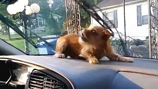 """Dogs vs. Windshield Wipers Compilation"" 