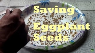 Harvesting and Saving Eggṗlant Seeds. Easy to DIY in minutes.