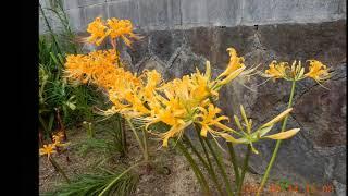 黄色の彼岸花? ヒガンバナ この歳になって初めて観ました黄色い彼岸花で...