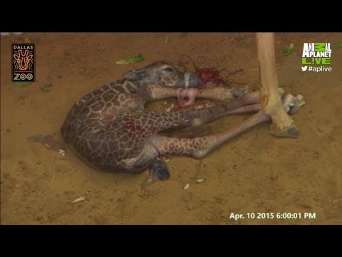 Katie the Giraffe Gives Birth!