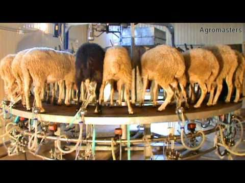 agromasters - Rotary Milking parlour  (external Milking) .mpg