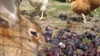 śliwki i kury