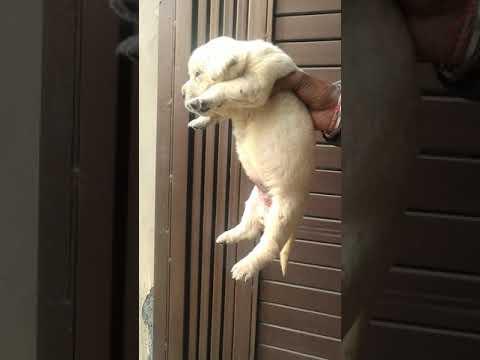 Show quality Labrador puppies for sale in Dehradun Haridwar Patna Bihar Delhi Mumbai Lucknow Ghazi