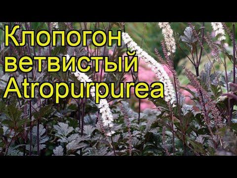 Клопогон ветвистый Атропурпуреа. Краткий обзор, описание cimifuga racemosa Atropurpurea