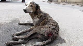 Rescue of an old street dog injured and unable to stand