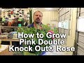 How to grow Pink Double Knock Out® Roses (Disease Resistant Pink Shrub Roses)
