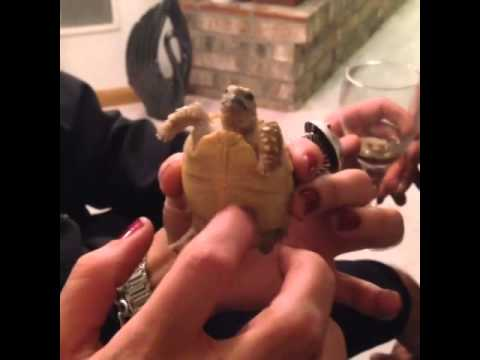 Tickle Turtle