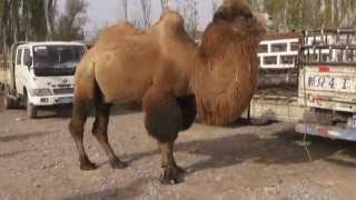 Рынок сельскохозяйственных животных в г. Кашгар, Китай
