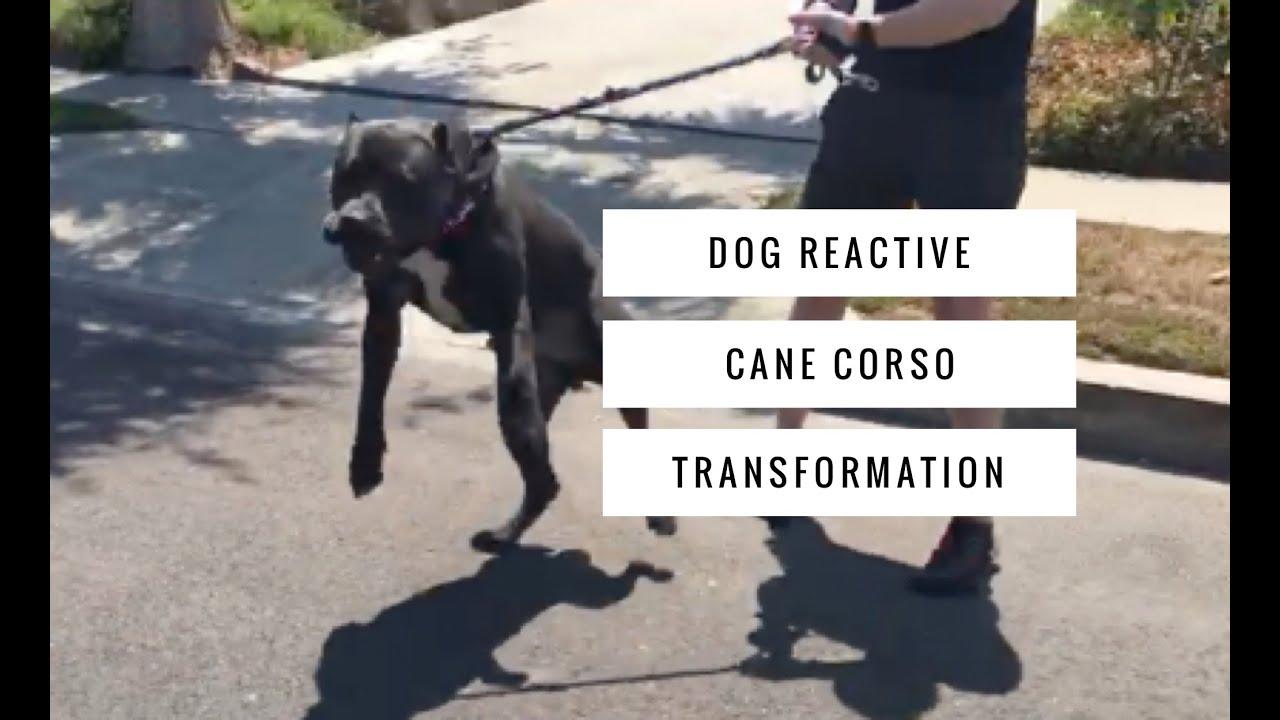Leash Agressive Cane Corso Dog Training Transformation Youtube