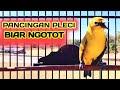 Pancingan Pleci Agar Ngotot Dan Merangsang Pleci Buka Paruh  Mp3 - Mp4 Download