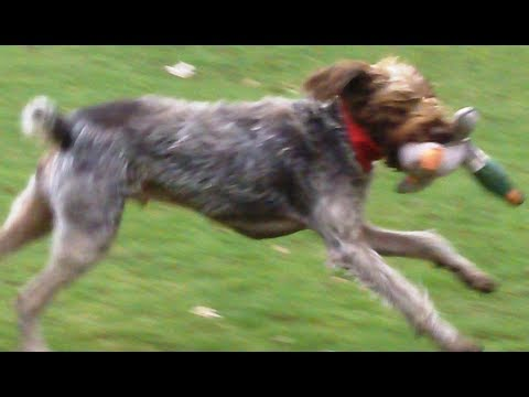 Pointer, German Wirehaired legging it with his pheasant.