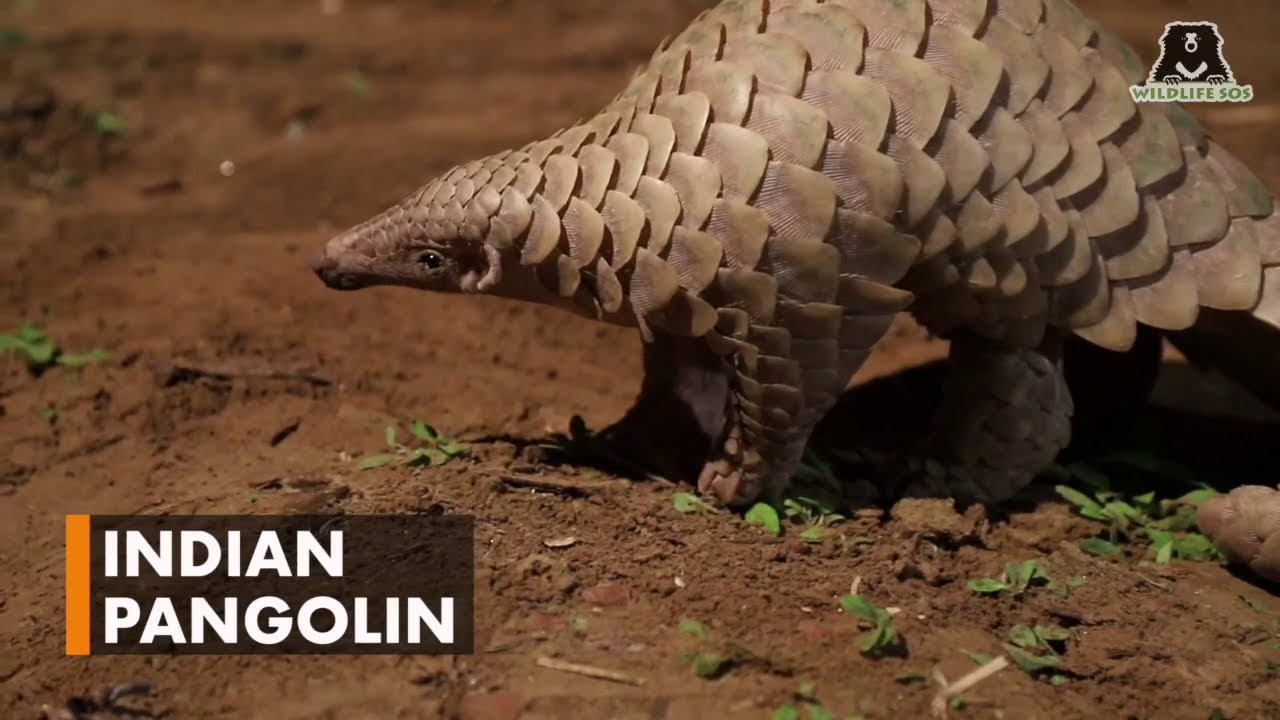 Get to Know Pangolins on World Pangolin Day!