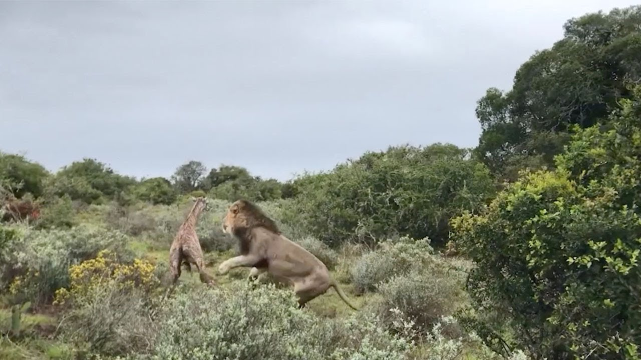 האריה בזינוק מדהים טרף את הגירפה