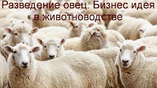 видео Бизнес на разведении и выращивании овец