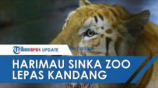 2 Harimau Lepas dari Sinka Zoo Singkawang dan Serang Pawang hingga Tewas, Polisi Lakukan Pencarian