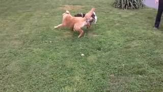 German Shorthair Pointer Gsp And Golden Retriever Playing