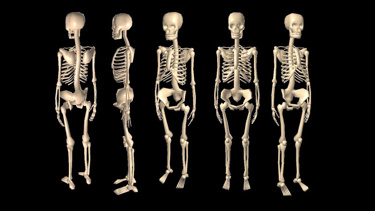 Top 10 Longest Bones In The Human Body Youtube