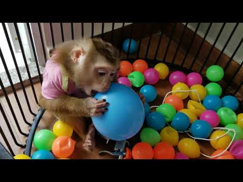 Monkey Baby Nui | Nui self-play alone without the mother