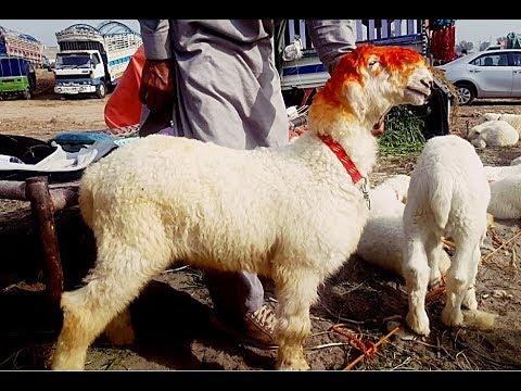PURE HEN K NAHI? Lahore Bakra Mandi visit 31st January 2018 Mundra Chatra  Kajla for Qurbani Eid 2018