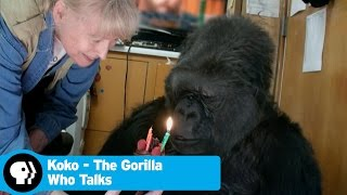 KOKO - THE GORILLA WHO TALKS | Did you know there's a talking gorilla? | PBS
