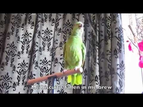 WORLD'S BEST TALKING BIRD - Yellow Naped Amazon Parrot called Budge