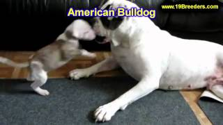 American Bulldog, Puppies, For, Sale, In, Wichita, Kansas, Ks, Pittsburg, Hays, Liberal, Prairie Vil