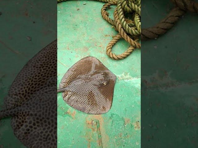 7kg Sky fish fishing, in Mandovi River Bridge Panjim Goa