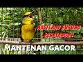 Mantenan Gacor Ngerol Panjang Masteran Terbaik  Mp3 - Mp4 Download