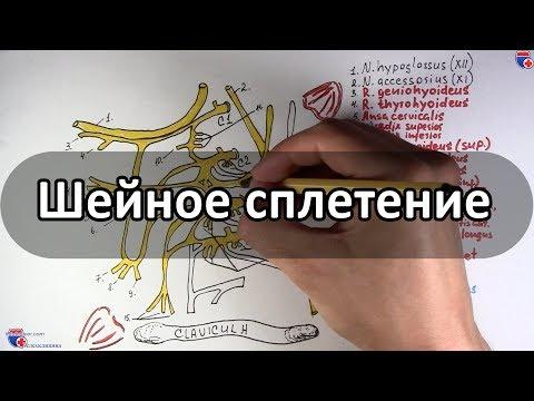 Шейное сплетение и его нервы - meduniver.com