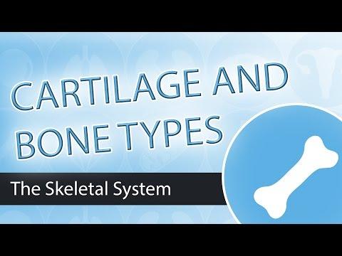 Skeletal System, Bones and Cartilage