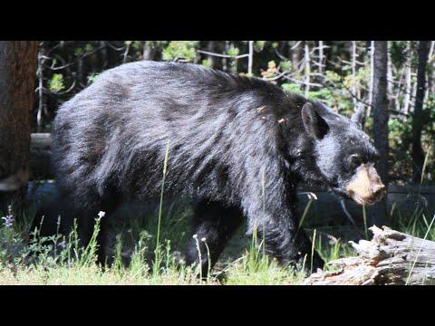 Yellowstone N.P. - Black Bear