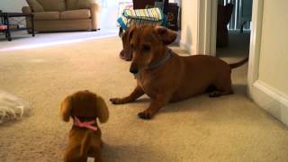 Madeline Meets The Battery Dachshund Dog