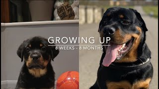 Rottweiler puppy growing up 8 weeks to 8 months