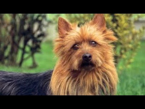 Amazing Facts on Australian Terrier | In Hindi | Dog Facts | Animal Channel Hindi