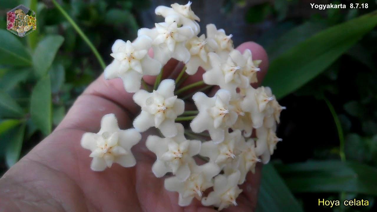 A Visit With Hoya Celata Alyx White Dragon Hoyaindonesia Fazza Nursery