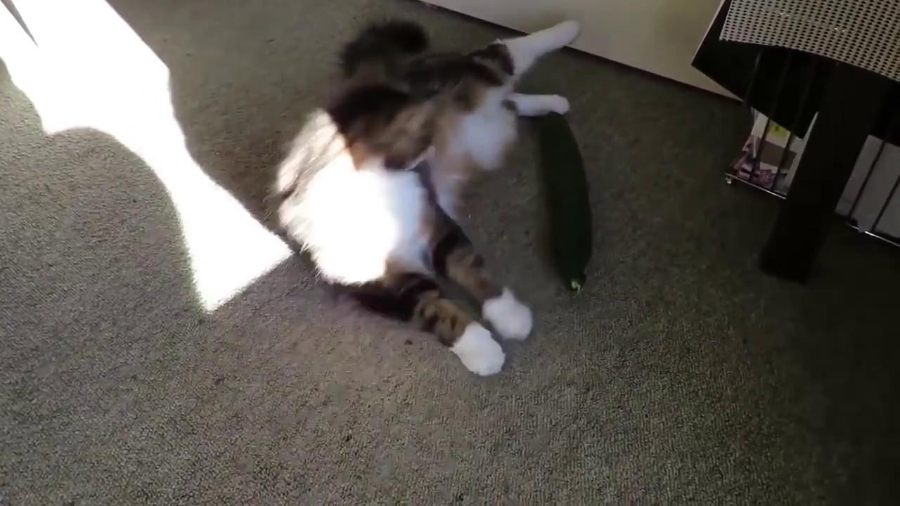 Коты и огурец нарезка