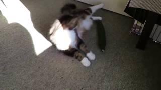 Коты и огурцы - самые смешные кошки - лучшие приколы