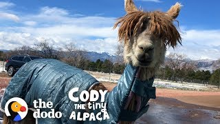 Watch Cody Get A Coat Made Just For Her! | Cody The Tiny Alpaca (Episode 2)
