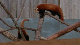Red Pandas at Sequoia Park Zoo.wmv