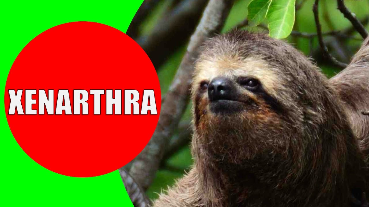 Xenarthrans – Anteater, Sloth, Armadillo Sounds Videos and ...