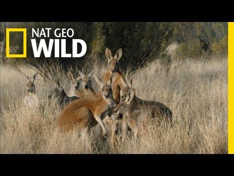 Meet the Kangaroo Mob | Kangaroo Dundee